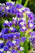 Limonium sinuatum 'Forever Bleu Foncé'