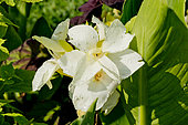 Canna indica 'Tropical Blanc'