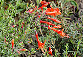Zauschneria californica ssp. cana 'Glasnevin'