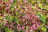 Begonia grandis 'Rose'