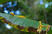 Eyelash viper (Bothriechis schlegelii) on a leaf, Costa Rica