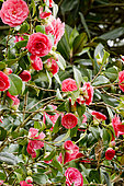 Camellia 'Hippolyte Thoby' in bloom in a garden