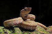 Eyelash viper (Bothriechis schlegelii) on black background, Costa Rica