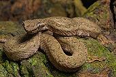 Eyelash viper (Bothriechis schlegelii), Costa Rica