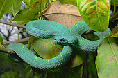 Side Striped Palm Pitviper (Bothriechis lateralis), Costa Rica