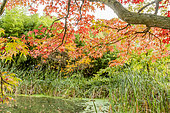 Liquidambar styraciflua 'Festival', Typha latifolia, Jardin aquatique, Arboretum de l'Ecole du Breuil, Paris, France