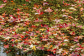 Feuilles de Liquidambar styraciflua 'Festival' en automne