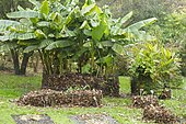 Japanese banana (Musa basjoo) and Indian shot (Canna indica) protected from frost with dead leaves