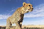Cheetah (Acinonyx jubatus) walking, Private reserve, South Africa