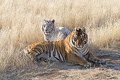 Bengal Tiger (Panthera tigris tigris) one regular and one white, resting between two mating sessions, Private reserve, South Africa