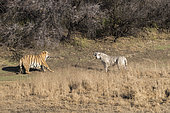Bengal Tiger (Panthera tigris tigris) one regular and one white, confrontation between the male (normal) and the female (white), the male is the son of the female who refuses mating with him, Private reserve, South Africa