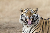 Portrait of Bengal Tiger (Panthera tigris tigris) flehmen, Private reserve, South Africa