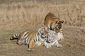 Bengal Tiger (Panthera tigris tigris) two normal (males) and one white (female) in rutting period, one of the males is the white tigress's son and she refuses to mate with him as he tries desperately to win her favors, Private reserve, South Africa