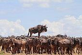 Blue wildebeest (Connochaetes taurinus) standing on a mound, Masai Mara, Kenya