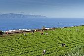 Culture maraîchère du basilic, Tenerife, Islas Canarias, Espagna
