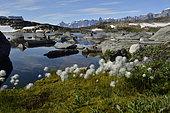 Tall cottongrass (Eriophorum angustifolium), Bear's Archipelago, East Coast Greenland