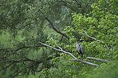 Grey Heron (Ardea cinerea) on a dead tree overlooking a secondary arm of the Loire river, Loire Valley, Burgundy, France