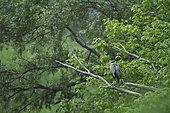 Grey Heron (Ardea cinerea) on a dead tree overlooking a secondary arm of the Loire river, Loire Valley, Burgundy, France