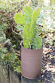 Opuntia cactus in a tin can painted, autumn, Somme, France