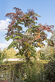 Japanese angelica (Aralia elata), autumn, Somme, France