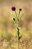 Musk Thistle (Carduus nutans) against the light in a meadow, Val d'Allier, Allier, Auvergne, France