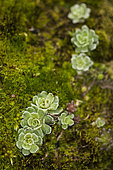 Livelong Saxifrage (Saxifraga paniculata) in the limestone rock of a mountain in spring, Drôme, Rhône-Alpes, France