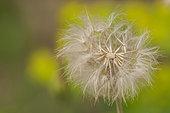 Salsify (Tragopogon porrifolius) in achenes in spring on an embankment near a scrubland, Drôme, Rhône-Alpes, France