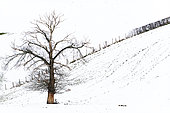 Downy oak (Quercus pubescens) in winter in a meadow, Montagne bourbonnaise, Allier, Auvergne, France