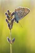 Silver-studded Blue (Plebejus Argus) female against the light on a mountain lavender, Drôme, Rhône-Alpes, France