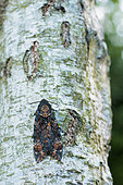 Mimicry of theDeath's-head Hawk-moth (Acherontia atropos) on a trunk of Birch one evening of October, Bocage bourbonnais, Allier, Auvergne, France