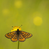 Marsh Fritillary (Euphydryas aurinia) on a butter cup in a wetland, Bocage bourbonnais, Allier, Auvergne, France