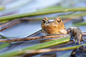 Male Common Toad (Bufo bufo) in the reed bed of a large pond in the bocage bourbonnais, Auvergne, France