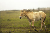 Henson foal under a drizzling late summer rain at Hâble d'Ault in Somme Bay, Picardie, France