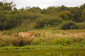Henson horse in the Crotoy marsh at the end of summer, Baie de Somme, Picardie, France