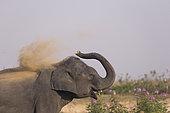 Domestic Asian Elephant (Elephas maximus) dust bathing, Kaziranga National Park, State of Assam, India