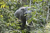 Asian Elephant (Elephas maximus), wild in the forest, Kaziranga National Park, State of Assam, India