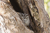 Collared scops owl (Otus lettia),couple perched on a tree during the day,Ranthambore National Park,Rajasthan, India