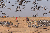 Demoiselle Crane (Anthropoides virgo) human activities (agricultural or otherwise) persist and may temporarily disrupt birds. Kichan, a village in the Marwari Jain community, whose inhabitants feed every winter since 1970, the wintering Cranes, Thar Desert, Rajasthan, India