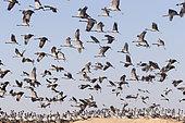 Demoiselle Crane (Anthropoides virgo) group in flight. Kichan, a village in the Marwari Jain community, whose inhabitants feed every winter since 1970, the wintering Cranes, Thar Desert, Rajasthan, India