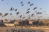 Demoiselle Crane (Anthropoides virgo) feeding place in the village. Kichan, a village in the Marwari Jain community, whose inhabitants feed every winter since 1970, the wintering Cranes, Thar Desert, Rajasthan, India