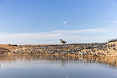 Demoiselle Crane (Anthropoides virgo) on riverbank. Kichan, a village in the Marwari Jain community, whose inhabitants feed every winter since 1970, the wintering Cranes, Thar Desert, Rajasthan, India