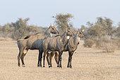 Nilgai or blue bull (Boselaphus tragocamelus), males, Bikaner, Rajasthan, India