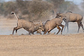 Nilgai or blue bull (Boselaphus tragocamelus), fight between two youngs males, Bikaner, Rajasthan, India