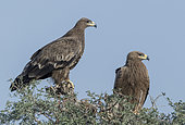 Steppe eagle (Aquila nipalensis), pair perched on a tree, Bikaner, Rajasthan, India