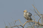 Egyptian vulture (Neophron percnopterus), also called the white scavenger vulture or pharaoh's chicken, on a branch, Bikaner, Rajasthan, India