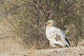 Egyptian vulture (Neophron percnopterus), also called the white scavenger vulture or pharaoh's chicken, on the ground, Bikaner, Rajasthan, India