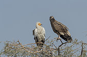Egyptian vulture (Neophron percnopterus), also called the white scavenger vulture or pharaoh's chicken, one adult white and one brown immature, perched on a tree, Bikaner, Rajasthan, India