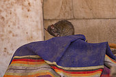 Rats (reincarnated poets, bards and storytellers) at the Temple of Karni Mata (over 600 years), drink milk offered by pilgrims, Deshnok, Rajasthan, India