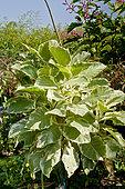 Nicotiana tomentosa 'Variegata'