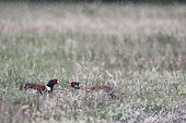 Ring-necked Pheasant (Phasianus colchicus) face to face in the rain, Dombes, France